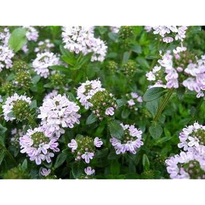 300 Satureja Montana Creeping Winter Savory Flower Herb Seeds for Planting #RR01 : Garden & Outdoor