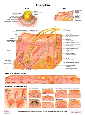 Dbios Laminated Poster The Skin, Hair/Nail/Types Of Skin Lesion/Common Skin Ailments Educational Charts
