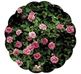 Stargazer Perennials Zephirine Drouhin Rose Plant Fragrant Pink Old-fashioned Flowers - Nearly Thornless Great Climbing Rose for Shade - Potted