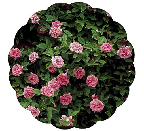 Stargazer Perennials Zephirine Drouhin Rose Plant Fragrant Pink Old-fashioned Flowers - Nearly Thornless Great Climbing Rose for Shade - Potted (Best Pink Climbing Rose)