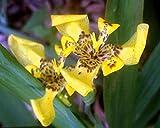 1 Plant Yellow Walking Iris Live Plant Water Garden Bog Border Trimezia steyermarkii Starter Size 4 Inch Pot