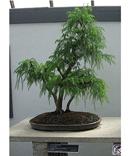 Cedar Tree Red Trunk - 50 Japanese Red Cedar Tree Seeds / Cryptomeria Japonica /
