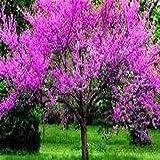 15 Seeds Judas Tree (Cercis siliquastrum)