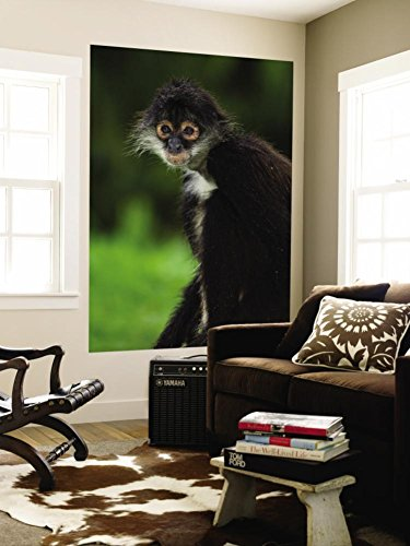 Yucatan Spider Screw around with (Ateles Geoffroyi Yucatanensis), Xcaret Eco Theme Park Wall Mural by Guylain Doyle 48 x 72in