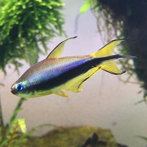 Bubble Eye Goldfish Care - 3