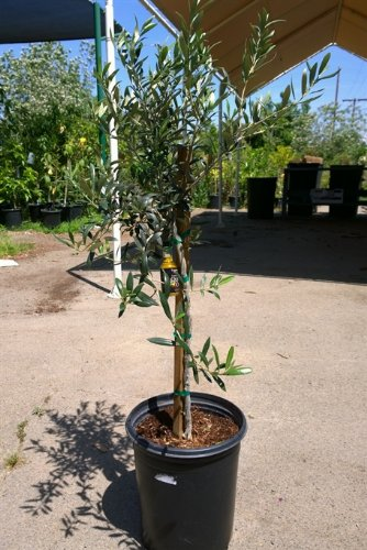 Arbequina Fruit Bearing Olive Tree,Five Gallon container