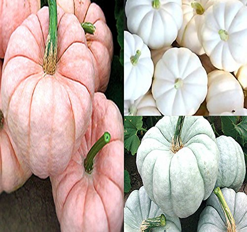 White Pumpkin Seeds - BIG PACK - (42-50+) Red-ish (Pink) White & Blue Pumpkin Mix Seeds (Individually Packaged) - Patriot Colors - Non-GMO Seeds by MySeeds.Co (BIG PACK - Pink White Blue Pumpkin)