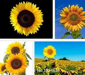 grandiflora jardín Planta Portulaca, girasoles oropéndola, planta sol amarillo, agujas de pino semillas de flor de Bonsai 100 partículas de semillas
