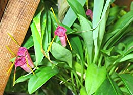 Masdevallia X mystica from the Orchid family .