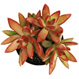 Pegasus Flora Succulent Live Plant sedum-firestorm
