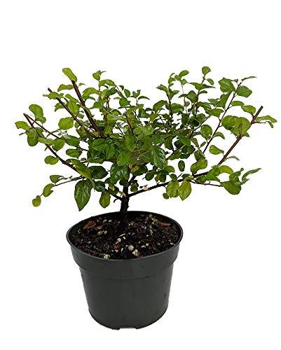 Chinese Bird Plum Pre Bonsai Tree - Sagaretias - Potted - 4