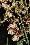 Casavidas Seeds: Eulophia guineensis x andamanensis Terrestrial Orchid, Easy to Grow ! Sale