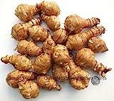 4+ Lbs Jerusalem Artichoke tubers Sunchokes- Helianthus tuberosus- Freshly dug