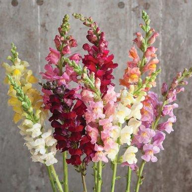 David's Garden Seeds Flower Snapdragon Rocket Mix SL1267 (Multi) 50 Hybrid (Snapdragon Mix)