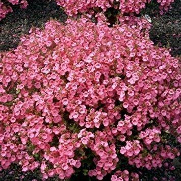 Garden Plug Plants Pack x6 Diascia /'Little Dancer/' Hanging Basket
