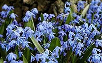 Scilla Siberica Early Spring Flowering Bulbs Available In