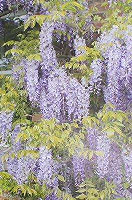 Inter Flower Jardín Blauregen, Japonés Blauregen1 Planta Wisteria ...