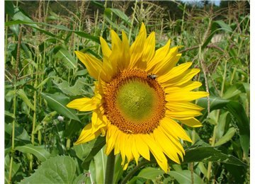 Peredovik Sunflower Seeds - 5 lb Bags (Best Seed To Plant For Deer)
