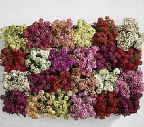 Alyssum Aphrodite Series Mix Annual (Alyssum Aphrodite Series)