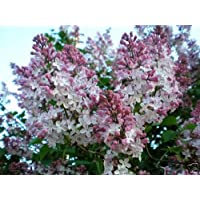 Lila francés, Syringa vulgaris, semillas de arbustos (Fast, fragante, Hardy, Seto llamativo) 30