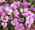 Flower Seeds Pink Alpine Rock-Cress (Arabis alpina) Perennial