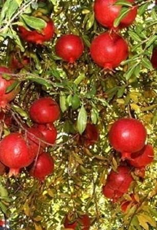 """Punica """"wonderful – Granada – comestible – planta ..."""