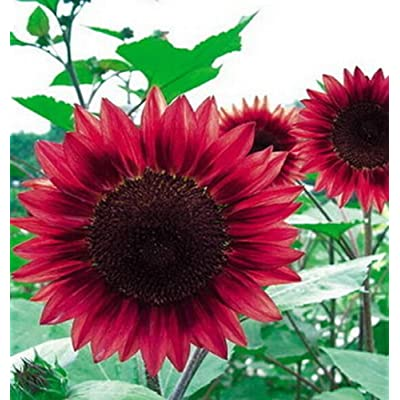 15 Seeds Sunflower Seed red Fortune Flower Seed ~1 Pack 15 Seeds~ : Garden & Outdoor