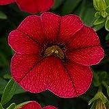 Calibrachoa Seeds ~ Kabloom RED ~ Trailing for Hanging Baskets ~ NEW 2015