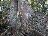 20 Seeds of Ceiba pentandra - Kapok / Silk Cotton Tree - Rare Tropical Plant Tree Seeds