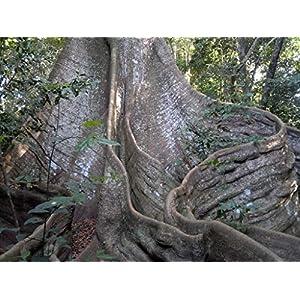 20 Seeds of Ceiba pentandra - Kapok / Silk Cotton Tree - Rare Tropical Plant Tree Seeds 131