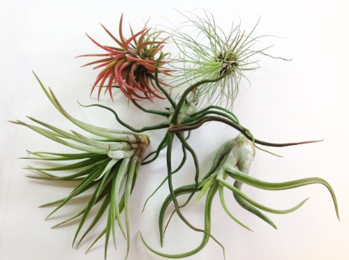 Glass Home Gardens - Tillandsia Variety Pack - 5 Air Plants at a Great Price!