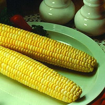 Honey & Cream Hybrid Corn Garden Seeds (Treated) - Non-GMO, Sugary Enhanced, Yellow & White Sweet Corn - Vegetetable Gardening