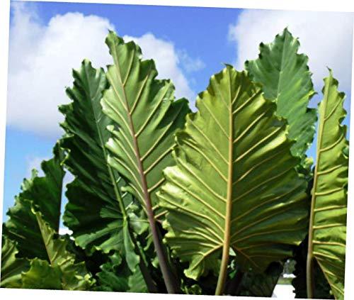 ELLA Plant Elephant Ear Alocasia 'Portora' Live Plant Green Tropical Garden Unique Upright - EB154
