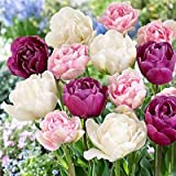 SILKSART 20 Nice Bulbs! Tulip Bulbs early bloom Perennial Bulbs for Garden Planting Beautiful Flower--SHIPPING NOW!!!