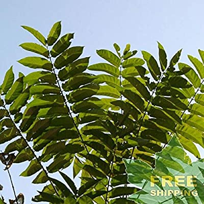 Tree of Heaven Ailanthus Altissima - 10 Seeds. : Garden & Outdoor