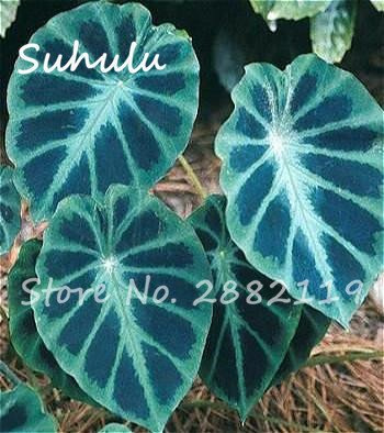20 Pcs Heirloom Alocasia Macrorrhiza Seed Rare Green Giant Taro Perennial Flower Elephant Ears Sale Home Garden Plants Easy Grow - Elephant Alocasia Ear