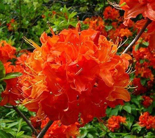 Mandarin Lights Orange Deciduous Azalea - Live Plant - Trade Gallon Pot by New Life Nursery & Garden (Image #3)