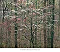 Kentucky Blossoms Forest Nature Poster Print 26 x 30 inches