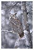 """Global Gallery DP-396907-2436 """"Tim Fitzharris Great Horned Owl Perched in Tree Dusted with Snow British Columbia"""" Giclee on Paper Print"""
