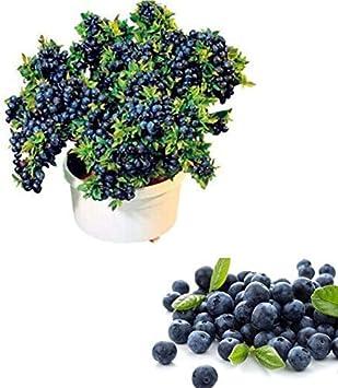 QHYDZ Garden-50/100pcs Semillas Arándanos Azul, Semillas Deliciosa Blueberry Frutales Planta para Bonsai Huerto Jardin (50pcs)
