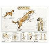 Canine Skeletal System Anatomical Chart