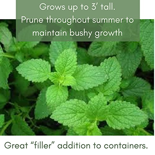 Clovers Garden Peppermint Mint Herb Plants- Non GMO- Two (2) Live Plants - Not Seeds -Each 4''-7'' tall- in 3.5 Inch Pots by Clovers Garden (Image #5)