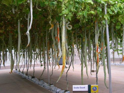10 Multicolored SNAKE GOURD Lagenaria Siceraria Vine Seeds