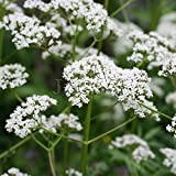 Shopvise Valerian 1 Packet39; S (Pcs) Herb Flower Garden Valeriana Officinalis Valerian Samen: 1 Packet