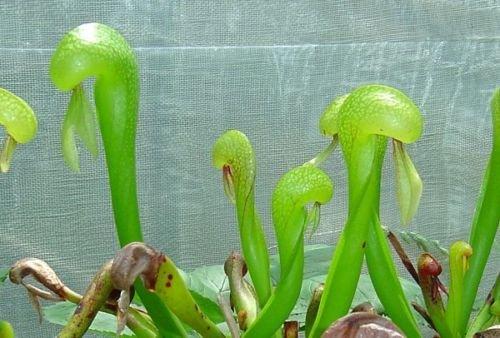 Carnivorous Darlingtonia Californica Cobra Lily Hardy Plant 25 Seeds Rare Deal