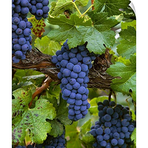 (Mature Merlot Wine Grape Clusters on The Vine, ripe and Ready for Harvest Wall Peel Art Print.)
