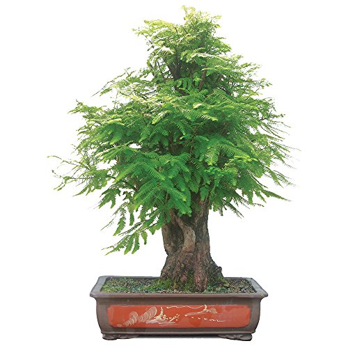- Brussel's Live Dawn Redwood Specimen Outdoor Bonsai Tree - 25 Years Old; 50