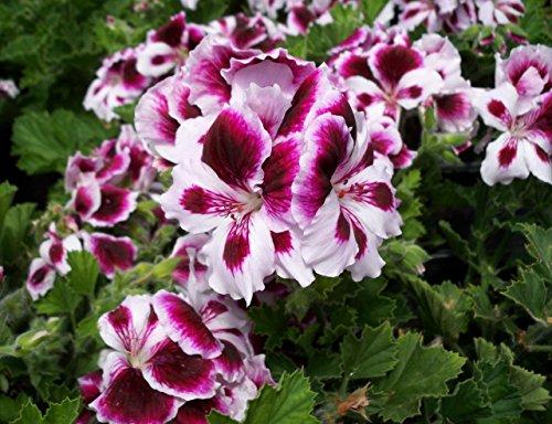 50 Regal Geranium Seeds - My Secret Gardens