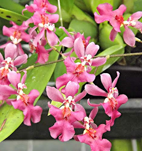Orchid Insanity -Onc. Twinkle Pink Profusion - Fragrant Blooms Easy to Grow and Bloom! Miniature windowsill-Size, Cool and Warm Tolerant. Pink Flowered Variety. NOT in Bloom/Bud When Shipped