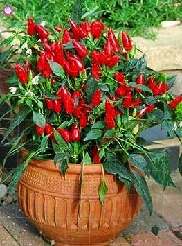 Bloom Green Co. 100 unids/Bolsa Bonsai Pimiento Picante Planta de Pimiento Raras Diferentes variedades de Chile vegrtable Plantas en Maceta para la plantación de huertos caseros: 2